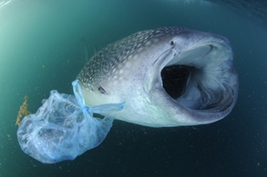 whalesharkplastic